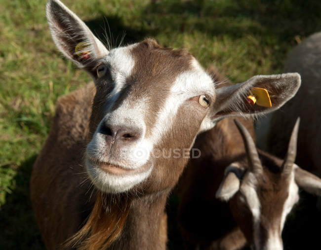Close-up view of toggenburg goats looking in camera — Stock Photo