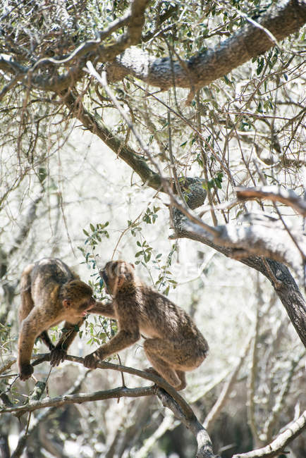 Zwei Berberaffen, die Kämpfe am Boden — Stockfoto