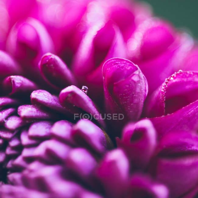 Крупным планом вид цветок цветок георгин — стоковое фото