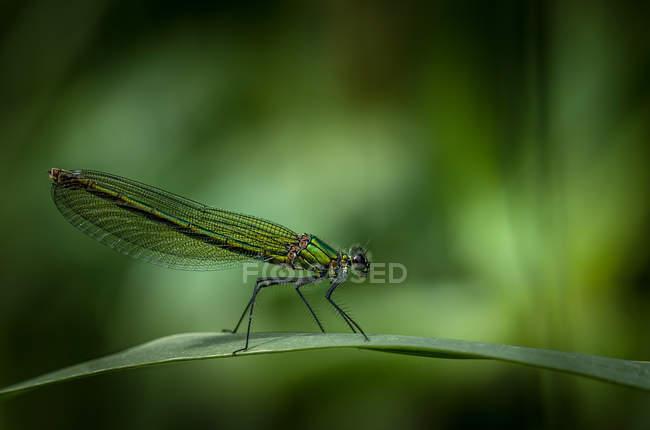 Insecte libellule sur l'herbe verte, mettant l'accent sur le premier plan — Photo de stock