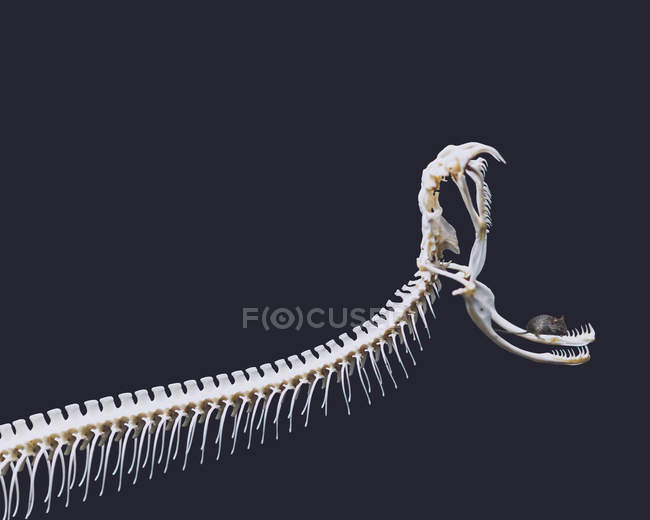 Mouse sitting on jaw of python skeleton — Stock Photo