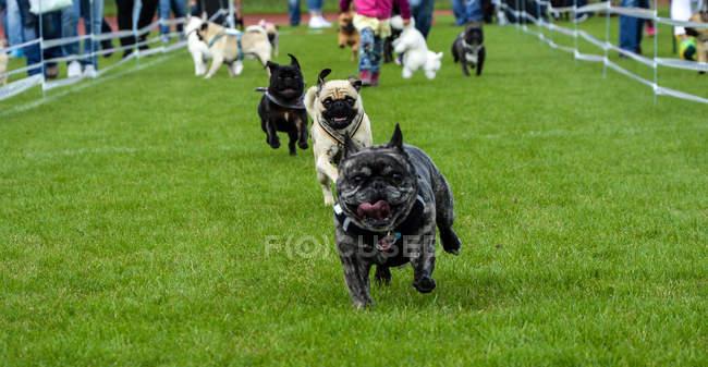 Executando o Bulldog Francês e Pug — Fotografia de Stock