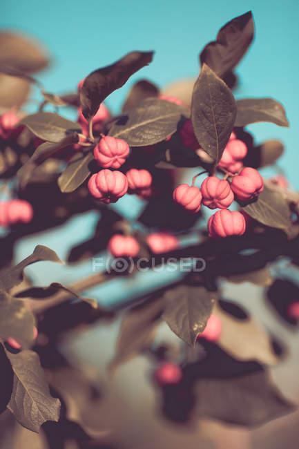 Folhas verdes e frutas vermelhas — Fotografia de Stock