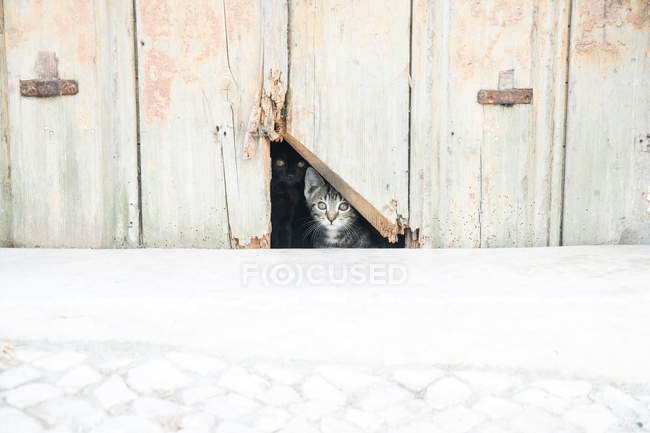 Kitten peeking out hole in fence — Stock Photo