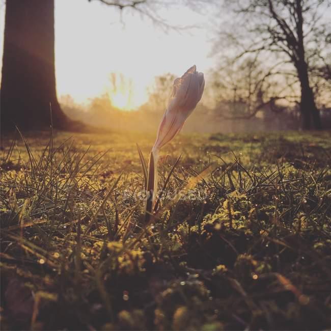 Paisagem verde com grama e açafrão flor na floresta — Fotografia de Stock