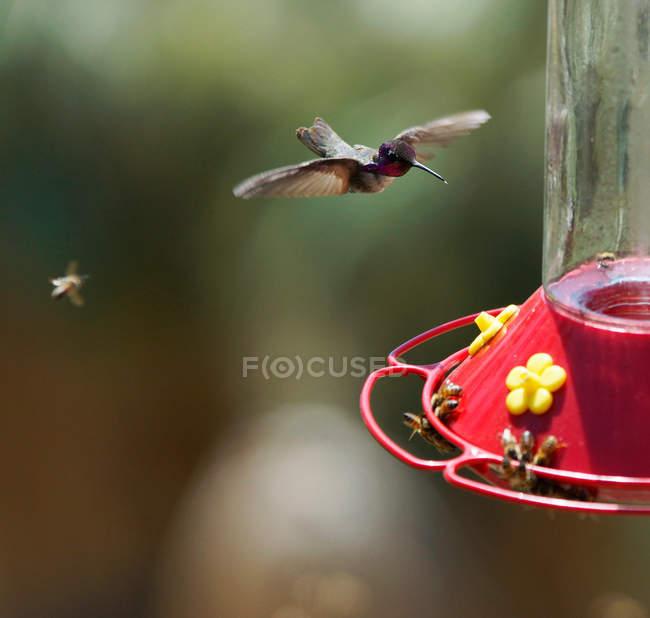 Vuelan a alimentador de colibrí - foto de stock