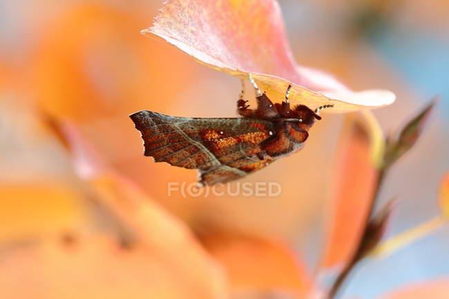 Крупным планом вид Сплюшка моль на лист — стоковое фото