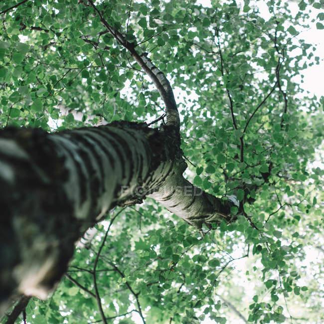 Unteransicht des Birke mit dunkelgrünem Laub — Stockfoto