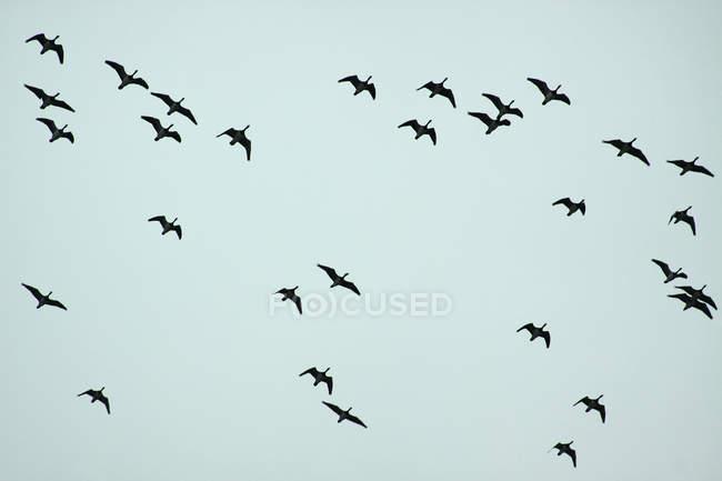 Aves voladoras de gansos en el cielo - foto de stock