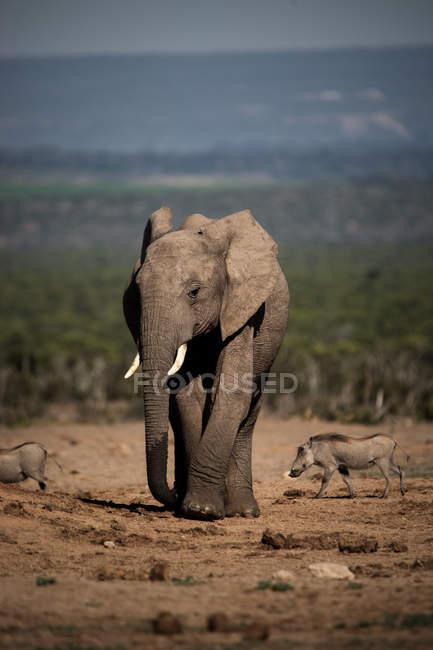 Kleine wilde Elefanten und gemeinsame Warzenschwein in Savanne Wandern — Stockfoto