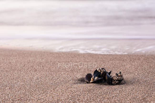 Mussels shells on sandy seashore — Stock Photo