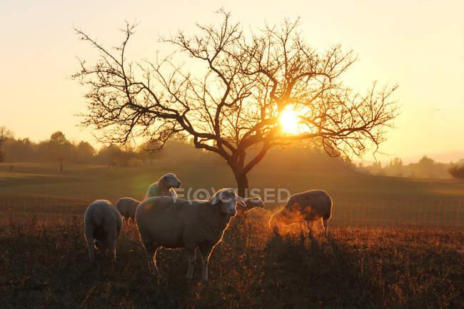 Rebaño de ovejas pastando al aire libre - foto de stock