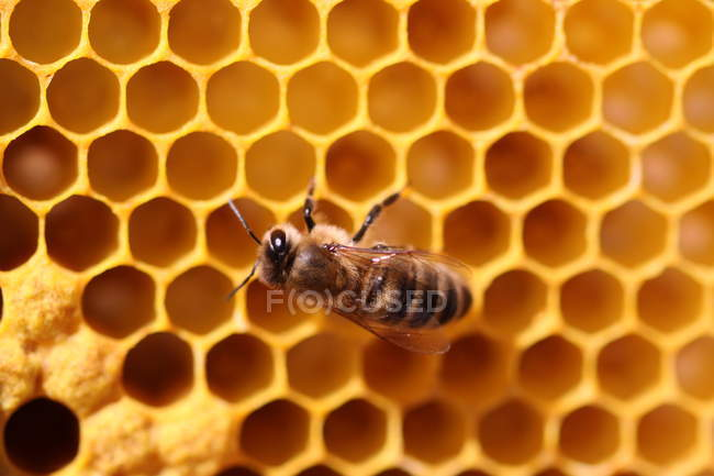 Une abeille sur nid d'abeilles de cellules — Photo de stock