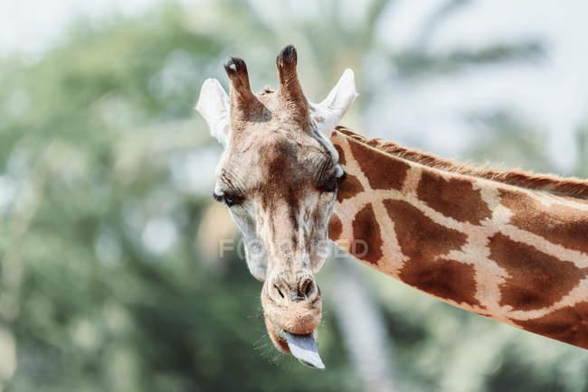 Lingua visualizzando giraffa — Foto stock