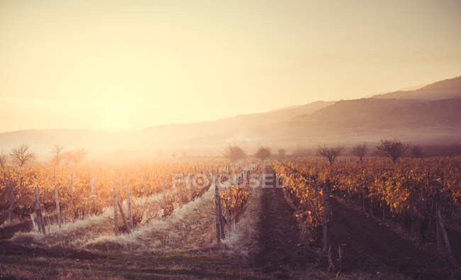 Autumn vineyards in the morning — Stock Photo