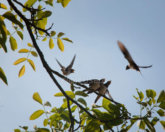 Green summer leaves on tree and swallow birds — Stock Photo
