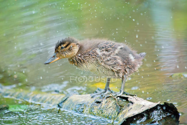 Vue de canetons humides secouer l'étang — Photo de stock