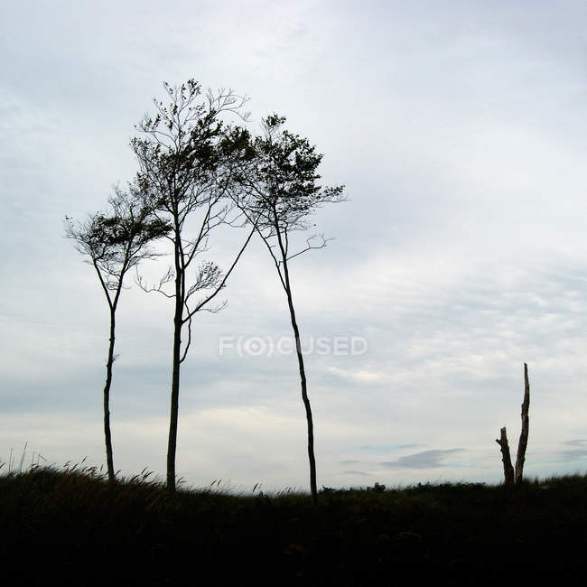 Silhouettes of pine trees against evening moody sky — Stock Photo