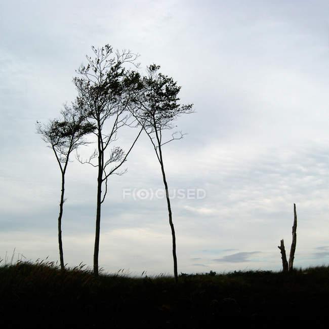 Silhuetas de pinheiros contra noite céu mal-humorado — Fotografia de Stock