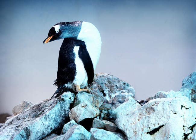 Пингвин стоял на скалах в зоопарке — стоковое фото