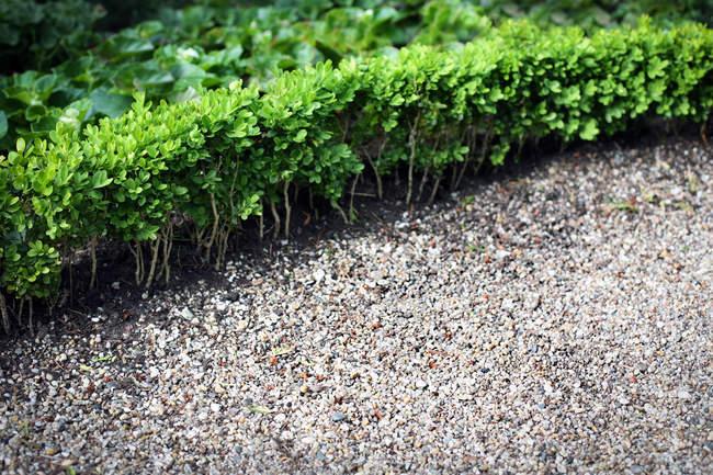 Grüne Grenze des Hedge-Detailansicht — Stockfoto