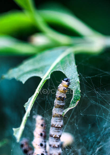 Vista diurna de larvas comiendo hoja verde en tela de araña - foto de stock