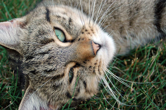 Tabby cat portrait, cat lying on green grass — Stock Photo