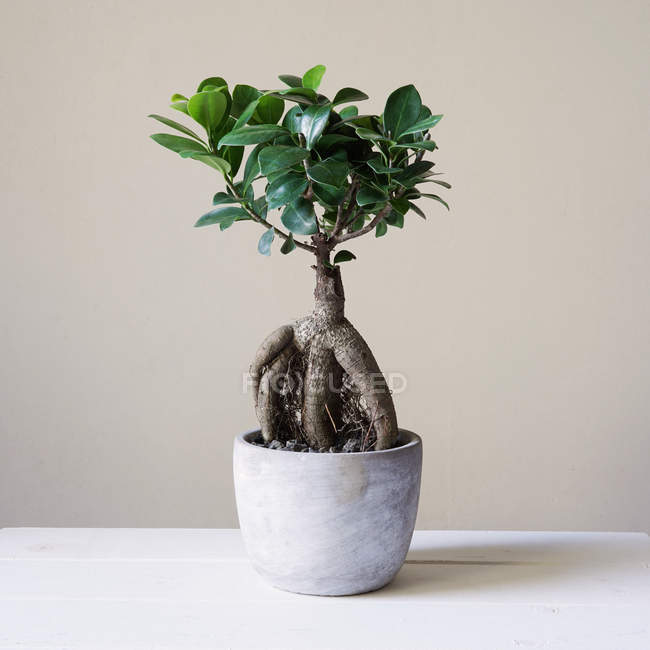 Growing houseplant in pot, bonsai tree — Stock Photo
