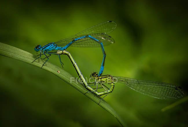 Insectos libélula en el apareamiento de la hierba verde - foto de stock