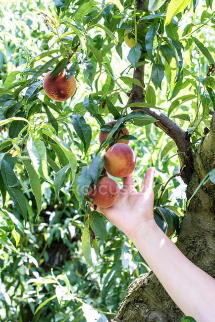 Woman picking peaches — Stock Photo