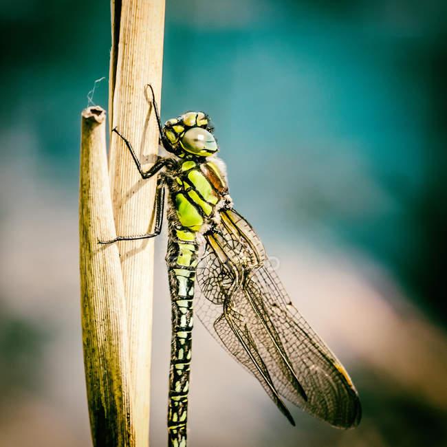 Insecte libellule sur l'herbe verte, gros plan — Photo de stock