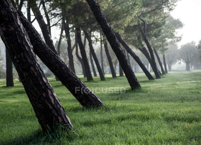 Стволы деревьев в туманной погоды — стоковое фото