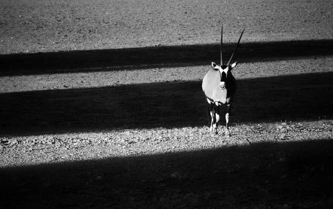 Black and white shot of antelope with shadows — Stock Photo