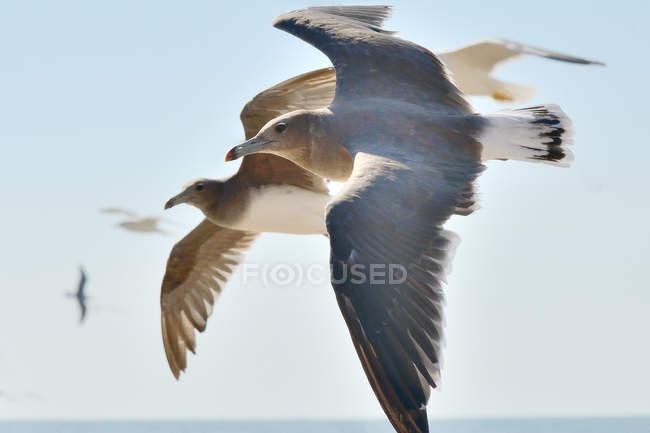 Primer plano de perfiles de pájaros gaviota de vuelo - foto de stock