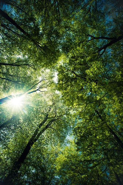Вид снизу на лесных зеленых деревьев и лучи — стоковое фото