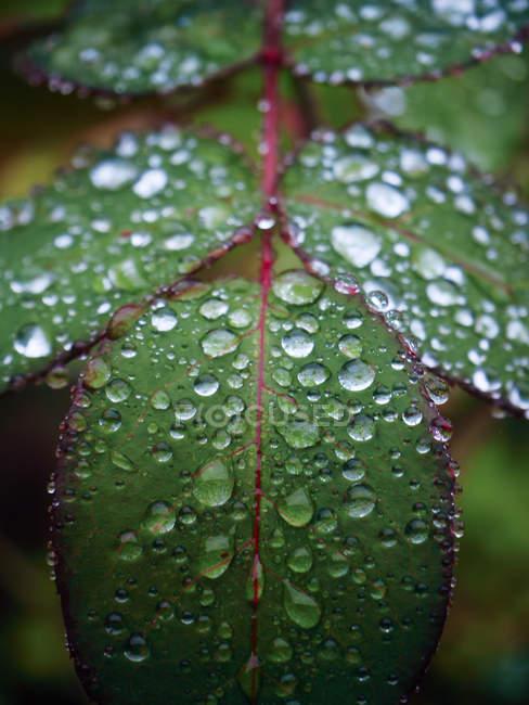 Grüne blätter mit tautropfen — Stockfoto