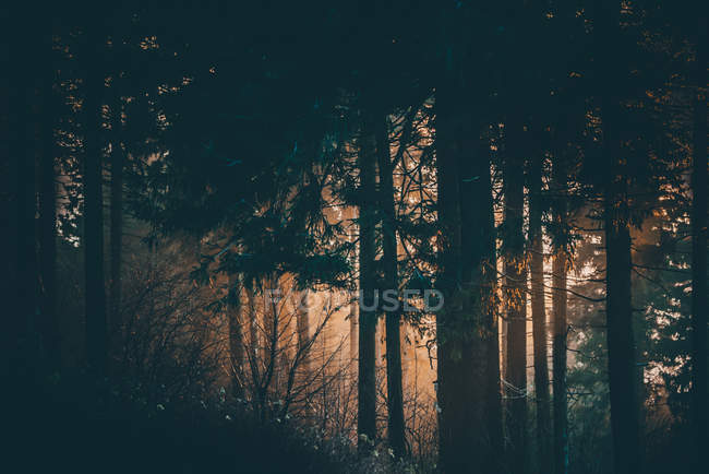 Forest trees in dark time, evening sunset — Stock Photo