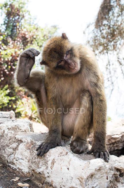 Macaco macaco de Barbary sentado na pedra e coçar a cabeça com perna — Fotografia de Stock