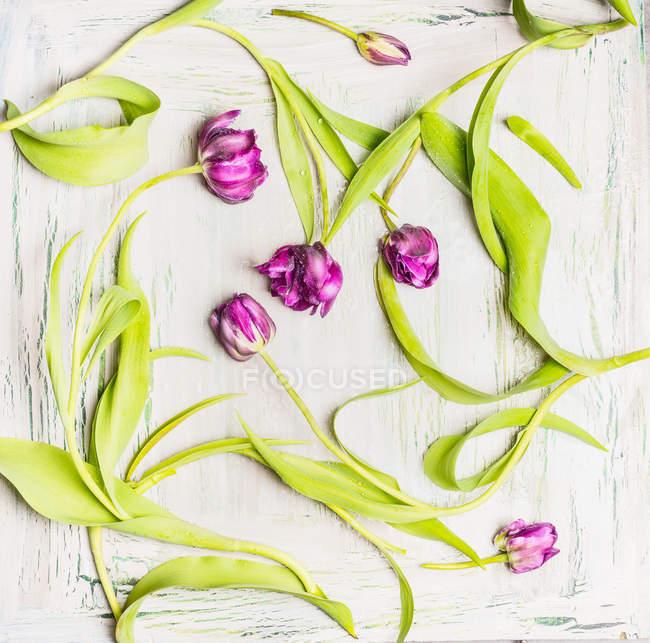 Fresh tulip flowers — Stock Photo