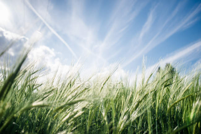 Green wheat grass in field and blue sky — Stock Photo