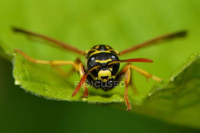 Bee crawling on green leaf — Photo de stock