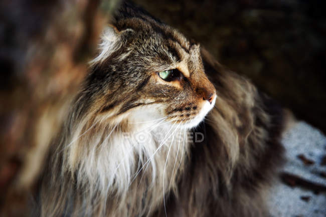 Long-haired maine coon — Stock Photo