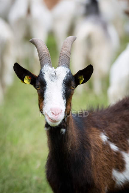 Front view of goat looking in camera — Stock Photo