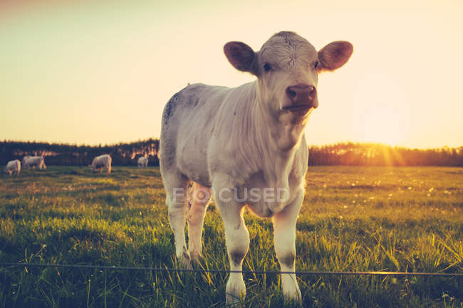 Farm green grass meadow with cows and sunset — Stock Photo