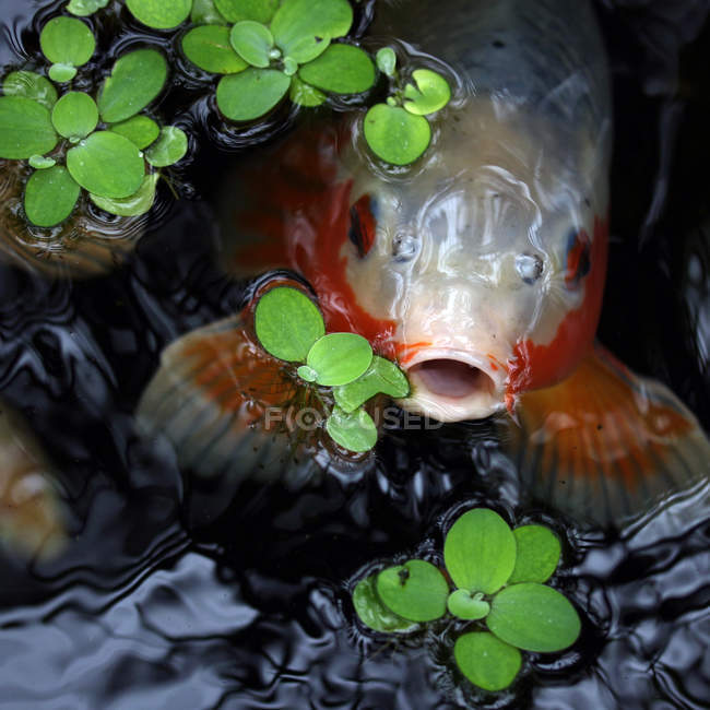 Close-up view of fish peering out of water — Stock Photo