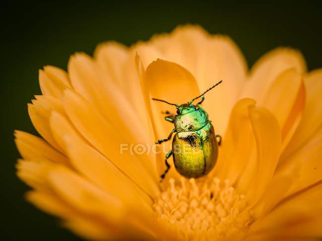 Крупним планом Жук повзати по пелюстки квітки — стокове фото