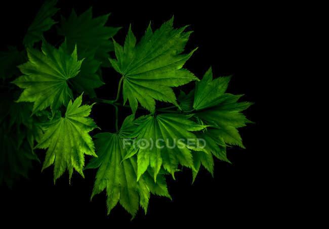 Hojas verdes en las ramas de los árboles - foto de stock