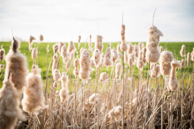 Plantas de algodão crescimento ao ar livre — Fotografia de Stock