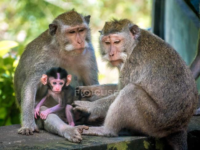 Família de Barbary macaques com macaco bebê — Fotografia de Stock