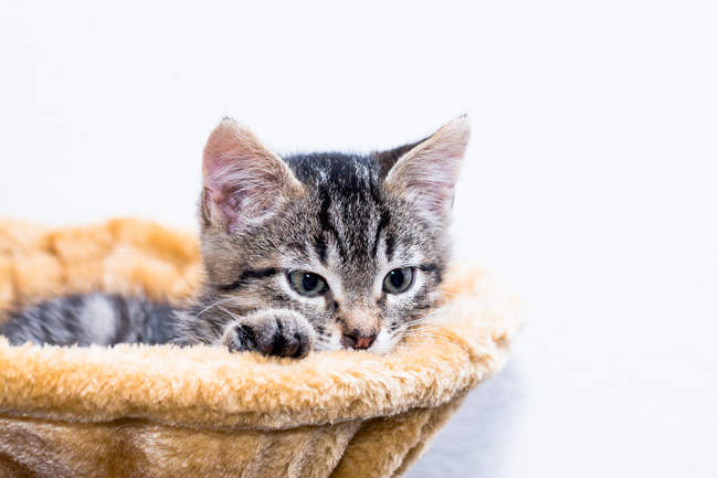 Little kitten laying in pet bed — Stock Photo